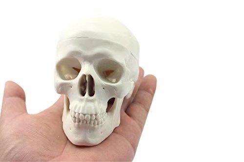 cher Kopf Knochen Totenkopf Knochen Mini Modell ()