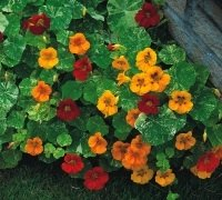 JustSeed Blume Brunnenkresse Tom Thumb Alaska, Mischung, 60 Samen