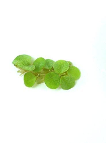 salvinia natans 1 Portion natans im 6cm Becher mini Natans Wasserpflanze Schwimm Pflanze gegen Algen 3679