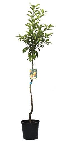 outlet-garden-naranjo-citrus-sinensis-arbol-citrico-natural-altura-130-metros-aproximado-contenedor-