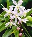BALDUR-Garten Duft-Clematis 'Armandii' Waldrebe, 1 Pflanze von Baldur-Garten - Du und dein Garten