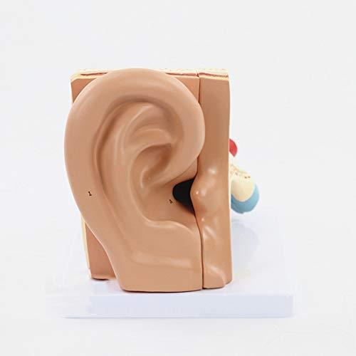 Disassemble 5 Teile Ohr Anatomisches Modell Ear Listening Gehörknöchelchen Inner Ear Labyrinth Modell Ohrmuschel Medizinische Lehre -