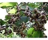 Hovenia dulcis-Rosinen vom eigenen Baum essen!! exotische Pflanze, Samen!!