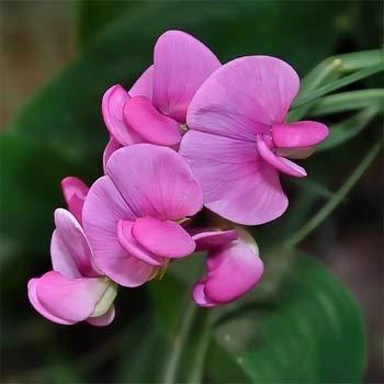 . Blumensamen: Everlasting Erbsensamen Blumensamen für das Pflanzen (9 Packets) Gartenpflanzensamen