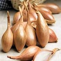 """100 Echalote Seeds """"Zebrune"""" - Heirloom de France échalotte"""