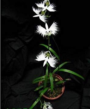 VISTARIC 8: 100 Pcs Clematis Graines de plantes Belle Paillage Graines de fleurs Bonsai ou un pot de fleurs vivaces pour jardin Mix Couleurs 8