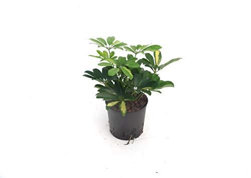 BOTANICLY | Zimmerpflanze | Strahlenaralie Gold Capella in Hydrokultur | Schefflera arboricola Gold Capella