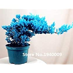 Shopmeeko 50pcs / bag Japanischer Wacholder Bonsai Starter Tree - Juniperus procumbens & # 39; Nana & # 39; Topfpflanze für Hausgarten
