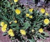 Preisvergleich Produktbild Habichtskraut 'Hieracium pilocella',  Samen