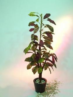 Croton 4-fach Cocosstamm 180cm