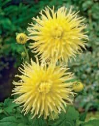 Dahlie Kennemerland, Kaktus-Dahlie gelb, Größe I, 3 Zwiebel - zu dem Artikel bekommen Sie gratis ein Paar Handschuhe für die Gartenarbeit dazu