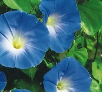 JustSeed Prunkwinden, Morning Glory Heavenly Blue, Blume, 500 Samen