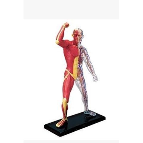 4d Colorful Puzzle juguete de modelos anatómicos humanos de muscular sangre y buques esqueleto