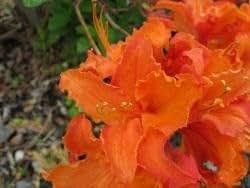 Rhododendron 'Klondyke'/Rhododendron luteum
