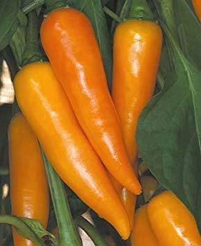 PLAT FIRM 30 Samen von Bulgarian Carrot - Hot Pepper