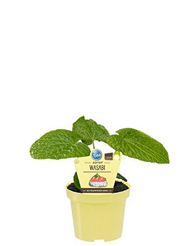 echter Wasabi,ohne Kunstdünger!12er Topf,schöne kräftige Pflanzen im 12er Topf - Schöne Pflanzen