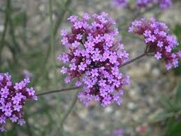 Verbena bonariensis perennial plant -best butterfly