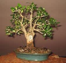 lbaum olivenbaum samenrarit t bonsai m glich. Black Bedroom Furniture Sets. Home Design Ideas