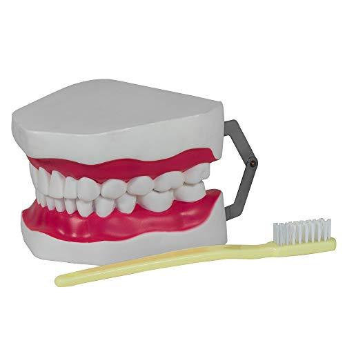 Gebiss Kiefer Modell mit Zahnbürste - Zahnpflegemodell von MedMod