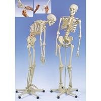 3B Scientific Menschliche Anatomie – A15 Flexibles Skelettmodell Fred