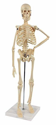 S24.1212 Skelett Modell klein, - Leben Größe Skelett Halloween