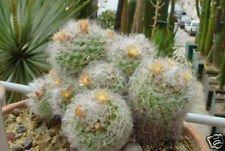 Mammillaria bocasana coussin fishook cactus rare graines de cactus exotique 100 graines