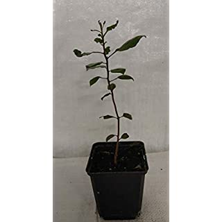 Pistachio Nut Tree, Pistachio Vera in a 9cm Rigid Pot.