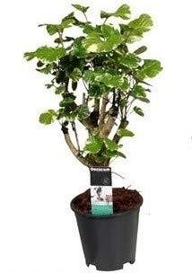 FloraStore - Polyscias Balfouriana verzweikt P 17 (1x), Höhe 60 CM, Topf 17 CM, Zimmerpflanze