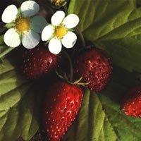 Plant World Seeds - Strawberry 'Golden Alexandra' Seeds
