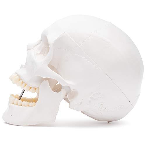 Zoom IMG-2 s24 2400 cranio umano modello