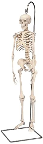 3B Scientific Menschliche Anatomie - Mini-Skelettmodell an