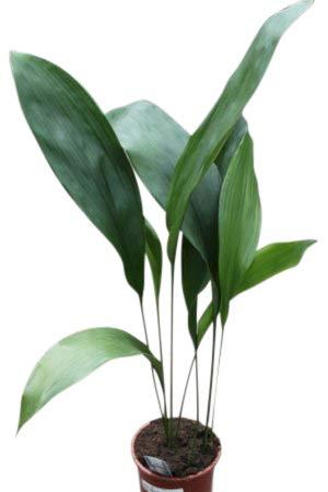 Zimmerpflanze für Wohnraum oder Büro - Aspidistra elatior - Schusterpalme 50cm
