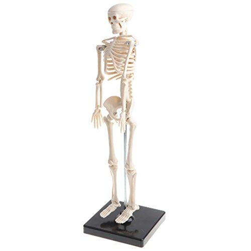 Homyl El Modelo Esquelético Del Cuerpo Humano De Los Niños Del PVC De 42cm Fijó El Juguete Educativo Anatómico