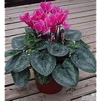 Vista Graines de fleurs vivaces Multi-color Seasons cyclamen- 30 pcs Livraison gratuite