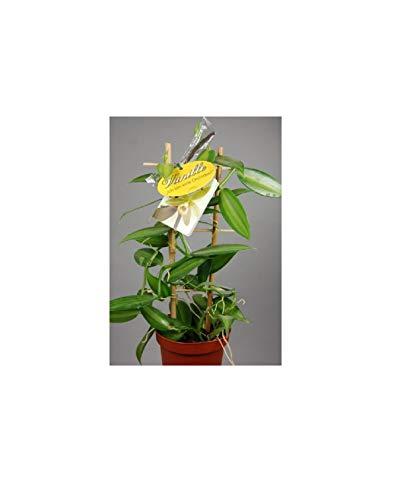 1x Vanilla planifolia 'variegata' (Rankegitter)- Schmuckblatt OW276