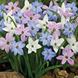 New Variety Spicies Mix Regen-Lilie Blüte Samen Schöne helle Farben Kräftige Garten 200+ Seeds