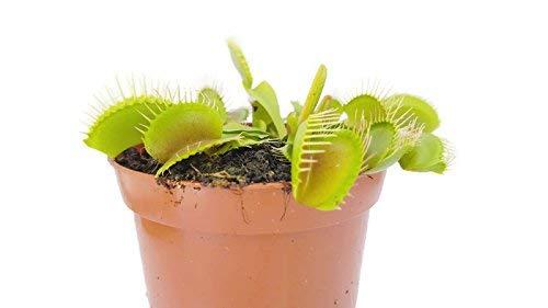 Venusfliegenfalle  <strong>Typ</strong>   Zimmerpflanze