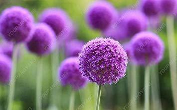 100 PCS / Sac oignon Graines géant Allium Graines Multicolor Balcon Fleurs belles plantes en pot de jardin à la maison noire
