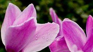 16 Couleurs Graines Cyclamen fleurs vivaces plantes à fleurs - 100 Pcs Jardin Graines Décoration Bonsai Fleur