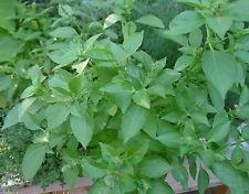 1000 Graines de citron basilic ~ Heirloom bio, semences non traitées.