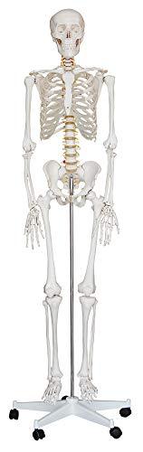 Lebensgroß Knochen Anatomie inkl. Ständer MedMod ()