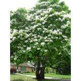 Trompetenbaum **Catalpa bignonioides** 2500 Samen