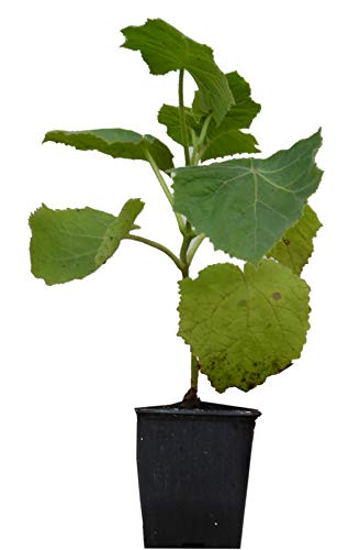 Seedeo® Blauglockenbaum (Paulownia tomentosa) Jungpflanze ca. 15 cm höhe
