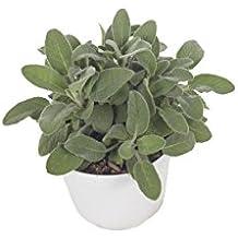 Amazon.it: pianta Salvia