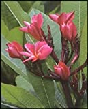 5 Seeds Plumeria mixed Colors Flower Colorful Fresh & High Quality seeds