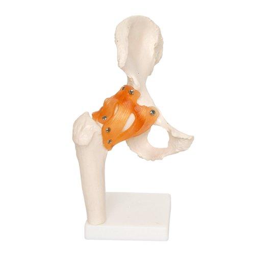 66fit-modello-anatomico-articolazioni-dellanca