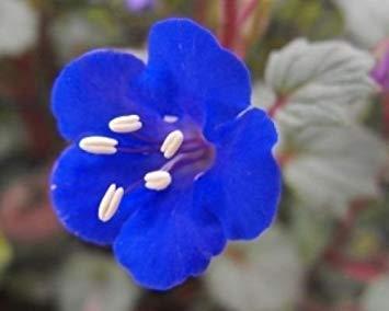 PLAT FIRM Phazelie Blumen-Samen 50 Freh Samen Blue Bell