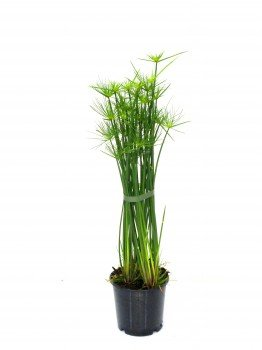 """Zyperngras """"Cyperus haspan"""" 60 cm Zwergpapyrus"""