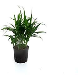 Goldfruchtpalme / Arecapalme, Chrysalidocarpus lutescens, Zimmerpflanze in Hydrokultur, 13/12er Kulturtopf, 30 - 40 cm