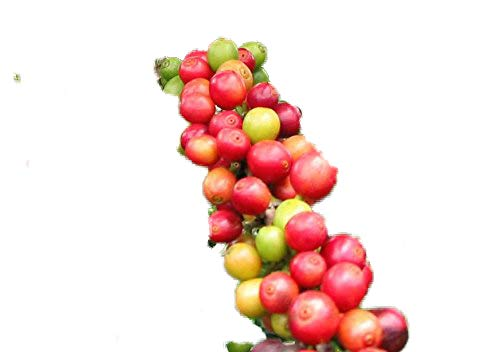 Zwerg - Kaffee 20 Samen -Coffea arabica .nana- Schöne Zimmerpflanze